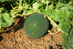 西瓜在一个晴朗的庭院里 免版税库存照片