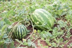西瓜在庭院里 免版税库存图片
