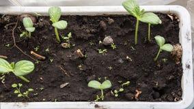 西瓜幼木种子移动朝太阳 4k公寓的timelapse增长的植物 ?? 影视素材