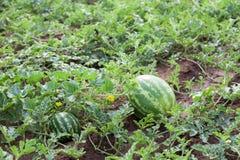 西瓜植物 免版税库存图片