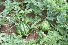 西瓜植物 库存照片