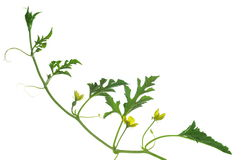 西瓜的开花 图库摄影