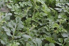 西瓜,被长卷毛的西瓜属,藤 免版税库存照片