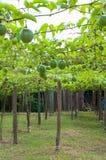 西番莲果庭院 库存照片