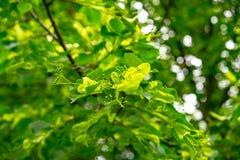 西番莲果树 库存图片