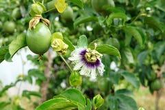 西番莲果,维生素C,健康食物, passionfruit 库存图片