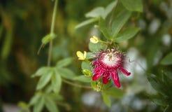 西番莲`玛格丽特夫人`品种在热带森林中的一朵花,与地方的水平的框架文本的 库存照片