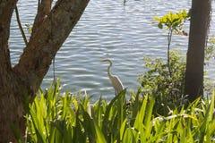 巴西的典型的白色皇家苍鹭 免版税图库摄影