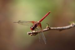 从巴西的大红色蜻蜓 库存图片
