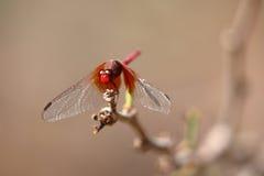 从巴西的大红色蜻蜓 免版税库存照片