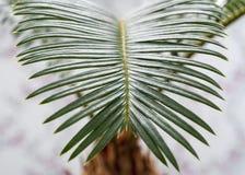 西米棕榈 库存图片