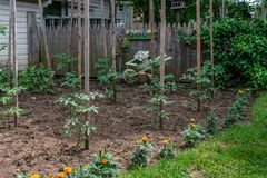 西红柿在庭院里 图库摄影