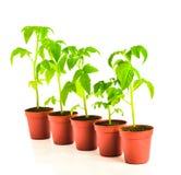 西红柿幼木在花盆的在白色被隔绝 库存照片