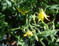 西红柿开花-茄属lycopersicum var cerasiforme -开花在后院庭院里 图库摄影
