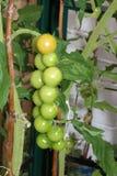 西红柿成熟的捆  库存图片