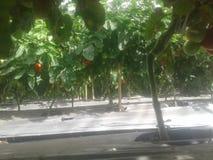 西红柿收获 免版税库存图片