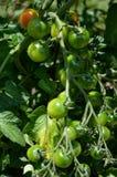 西红柿种植生长每在夏天的地方 库存照片