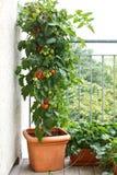 西红柿罐阳台草莓 免版税库存照片