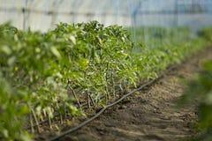 西红柿行生长有水滴灌溉的里面大工业温室 免版税库存照片