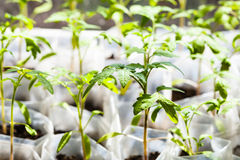 西红柿绿色幼木在塑料管的 库存图片