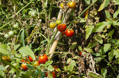 西红柿 库存照片