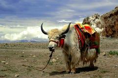 西藏牦牛 库存照片