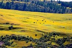 西藏牧场地牛和绵羊 图库摄影