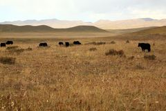 西藏牧场地 免版税库存照片