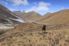 西藏牧羊人在使用会集的弹弓的四川它的牦牛 免版税图库摄影