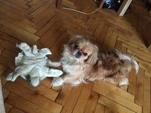 西藏西班牙猎狗在房子里 免版税库存图片