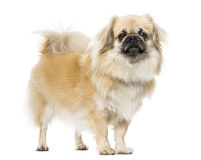 西藏西班牙猎狗身分, 2岁 免版税库存图片