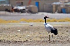 西藏野生动物 图库摄影