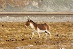 西藏野驴,马属kiang, Hanle,查谟克什米尔 库存照片