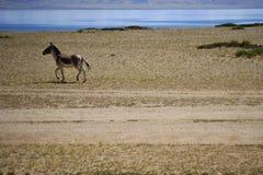 西藏野驴和神圣的湖 免版税图库摄影