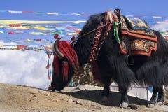 西藏-牦牛-高通的Yamdrok -中国 库存照片
