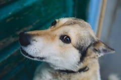 西西伯利亚Laika滑稽的狗画象 免版税库存照片
