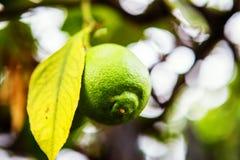 西西里人的柠檬 库存照片
