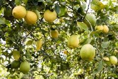 西西里岛的意大利柠檬树 图库摄影
