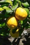 从西西里岛的柠檬 库存照片