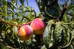 西西里岛的桃子 图库摄影