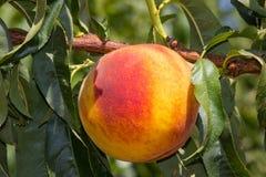 西西里岛的桃子 库存图片
