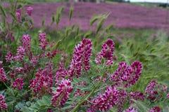 西西里岛的植物群,野花、豌豆和法国忍冬属植物,在草甸的桃红色苏拉花五颜六色的flossom山的, 库存照片