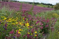 西西里岛的植物群,野花、豌豆和法国忍冬属植物,在草甸的桃红色苏拉花五颜六色的flossom山的, 库存图片
