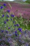 西西里岛的植物群,野花、豌豆和法国忍冬属植物,在草甸的桃红色苏拉花五颜六色的flossom山的, 免版税库存图片