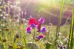 西西里岛的植物群,野花五颜六色的flossom在草甸山的,自然生物蜂蜜的生产的 免版税库存图片