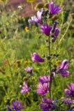 西西里岛的植物群,野花五颜六色的flossom在草甸山的,自然生物蜂蜜的生产的 图库摄影