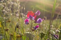 西西里岛的植物群,野花五颜六色的flossom在草甸山的,自然生物蜂蜜的生产的 免版税库存照片