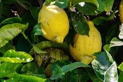 从西西里岛的黄色成熟柠檬 库存照片