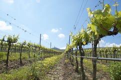 西西里岛葡萄园 免版税库存图片