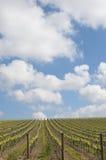 西西里岛葡萄园 免版税库存照片